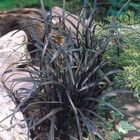 Ophiopogon planiscapus Nigrescens (Black Grass)