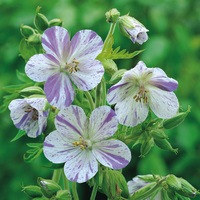 Geranium pra. Splish Splash