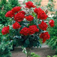 Rose Standard Fragrant Cloud