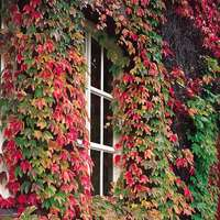 Parthenocissus Tricuspidata (boston Ivy)