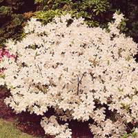 Azalea japonica Diamond White