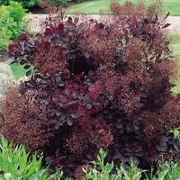 Cotinus cog. Royal Purple