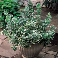 Euonymus for. Emerald Gaiety