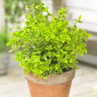 Euonymus for. Emerald n Gold