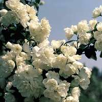 Philadelphus virginal (mock)