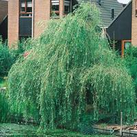 Salix Tristis (Weeping Willow)