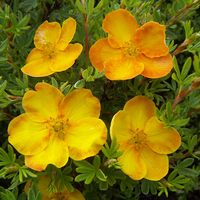 Potentilla fruticosa Sunset