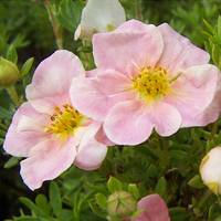 Potentilla Pink Whispers