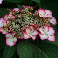 Hydrangea Love You Kiss