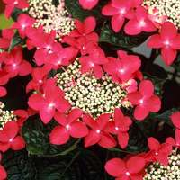 Hydrangea Lady in Red