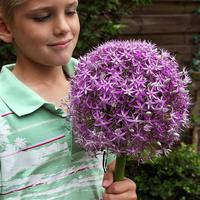 Allium Round and Purple 18/20cm