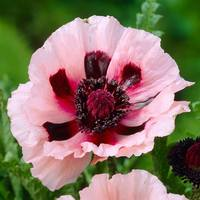 Papaver Little Dancing Girl