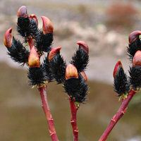 Salix G. (Black Pussy Willow)