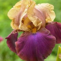 Iris germanica Gala Madrid