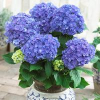 Hydrangea You and Me Together Blue
