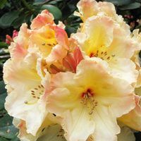 Rhododendron Horizon Monarch