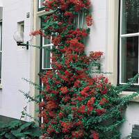 Pyracantha Victory
