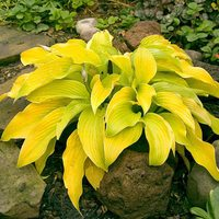 Hosta Lakeside Cha Cha