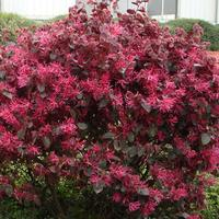 Loropetalum chin. Black Pearl