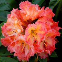 Rhododendron Sun Fire