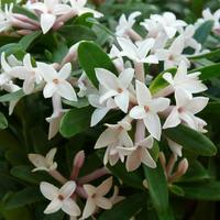 Daphne trans. Eternal Fragrance (10.5cm Pot)