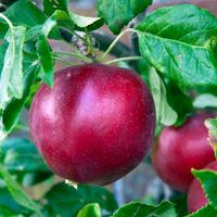 Apple Red Devil