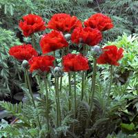 Papaver Giant King Kong