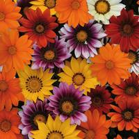 120 Gazania Super Colour Mixed (Rapid Plugs)