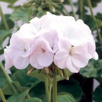 Geranium F1 White Blush (Maxi Plugs)