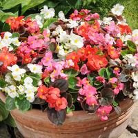Begonia Semp. Organdy Mixed (Maxi Plugs)