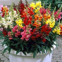 33 Antirrhinum Liberty F1 Mix (Maxi Plugs)