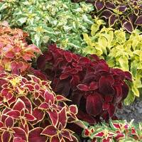 Coleus Dwarf Wizard Mixed (Maxi Plugs)