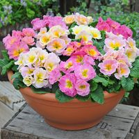 33 Primula Sweetheart Mix