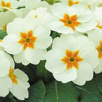 33 Primula Cottage Cream (Maxi Plug Plants)