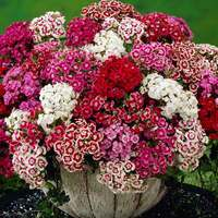 Sweet William Mixed (maxi Plugs)