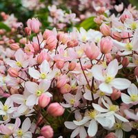 Clematis armandii 'Apple Blossom'