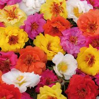33 Portulaca Happy Hour Mixed (Maxi Plugs)