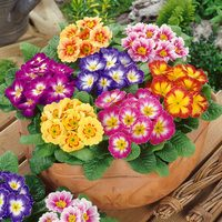 33 Primula Colour Carnival
