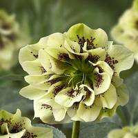 Helleborus Double Ellen Yellow Speckled