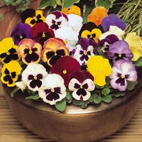 33 Pansy XXL Mixed (Maxi Plugs)