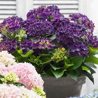 Hydrangea Music Deep Purple Dance 2ltr