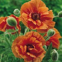 Papaver Orientale Harvest Moon
