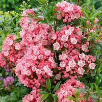 Kalmia latifolia Olympic Fire