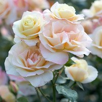 Rose Apricot Queen Elizabeth