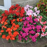 30 Impatiens Double Athena Mixed (Garden Ready)