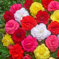 30 Begonia Non-Stop Mixed (Garden Ready)