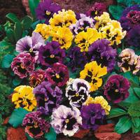 30 Pansy Can Can Mix (Garden Ready)