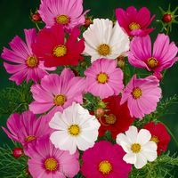 30 Cosmos Sonata Mixed (Garden Ready)