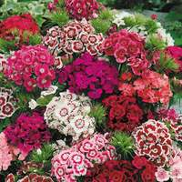 30 Dianthus Sweet Mixed (Garden Ready)