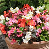 Begonia Organdy Mixed (garden Ready)